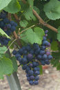 Grapes in epernay marne champagne ardenne france Stock Images