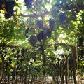 Grapes farm black in india Royalty Free Stock Photo