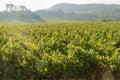 The grapes farm of Napa Valley Royalty Free Stock Photo