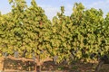 The grapes farm of Napa Valley Royalty Free Stock Photo
