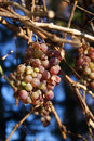 Grapes - Franconian ice wine Stock Image