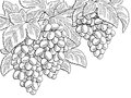Grapes fruit graphic branch black white sketch illustration
