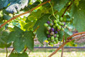 Grapes in garden fresh fruit Royalty Free Stock Image