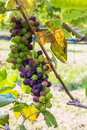 Grapes in garden fresh fruit Stock Image