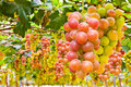 Grapes a grape is a non climacteric fruit specifically a berry and from the deciduous woody vines of the genus vitis Royalty Free Stock Photos