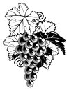 Grapes on grapevine an illustration of a bunch of a in a vintage woodcut print style Stock Photography