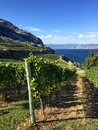 Grapes growing in British Columbia vineyard in autumn, Okanagan Lake Royalty Free Stock Photo