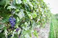 Grapes growing ripe black from soil with selective focus and copy space Royalty Free Stock Image