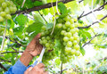 Grapes harvest farmer is harvesting ripe in vineyard in thailand Stock Photography
