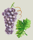 Grapes and leaves watercolor illustration of a bunch of ripe with green leaf Royalty Free Stock Photos