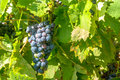 Grapes mature in a grapevine Royalty Free Stock Photography