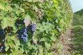 Grapes od cabernet sauvignon ready for harvest Stock Image