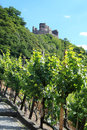 Grapes plantation for mosel wine in germany Stock Photo