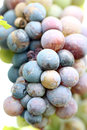 Grapes for the productivity of wine in garden Stock Photography