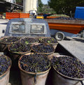 Grapes ready to unload at the wine factory cave cooperative in france Royalty Free Stock Photography