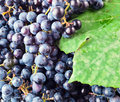 Grapes for red wine manufacturing. Stock Images