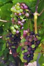 Grapes ripening Royalty Free Stock Images