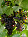 Grapes ripening grape clusters on the vine Royalty Free Stock Images