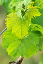 Grapes in spring Stock Photography