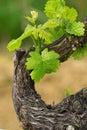 Grapes in spring Stock Photos