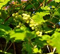 Grapes to ripen