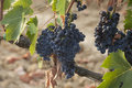 The Grapes of Tuscany Royalty Free Stock Photo