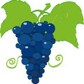 Grapes vector illustration of the grape Stock Images