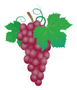 Grapes vector illustration on white background Royalty Free Stock Photos