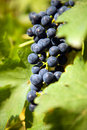 Grapes on a vine 1 Stock Photos