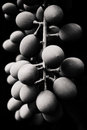 Grapes on the vine in black and white Stock Photography