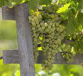 Grapes on the vine - Chile Royalty Free Stock Image