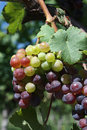Grapes on the vine colorful bunch of ripening hanging from a at a vineyard Royalty Free Stock Photography