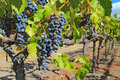 Grapes on the vine in the napa valley of california a shallow depth field highlights ripe purple wine hanging at a vineyard near Stock Photography