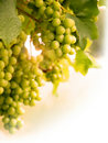 Grapes on Vine Portrait summer sun Royalty Free Stock Image
