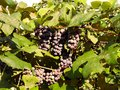 Grapes on the vine ripening in FingerLakes Wine Country Royalty Free Stock Photo