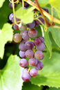 Grapes on the vine under a sunny day Stock Photography