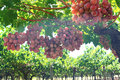 Grapes in vine yard Royalty Free Stock Photo