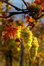 Grapes and vines in autumn Royalty Free Stock Image