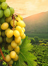 Grapes and vineyard. Royalty Free Stock Image