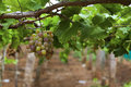 Grapes in vineyard bunch of red with beautiful green leaves Royalty Free Stock Photography