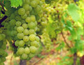 Grapes in vineyard bunches of ripe green growing a Royalty Free Stock Photo