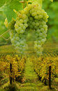 Grapes and vineyard concept ripe landscape viticulture background Stock Photography