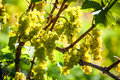 Grapes in the vineyard of winemaker autumn Royalty Free Stock Image