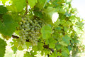 Grapes on Vineyards under Palava. Czech Republic Royalty Free Stock Photo