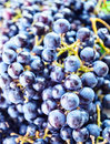 Grapes for  wine manufacturing Royalty Free Stock Photography