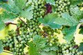 Grapes in a wine yard green stuttgart bad cannstatt bright summer light not yet ripe Royalty Free Stock Images
