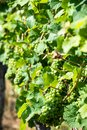 Grapes in a wine yard green stuttgart bad cannstatt bright summer light not yet ripe Stock Photography