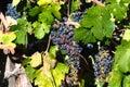 Grapes in wineyard napa valley california usa Stock Photos