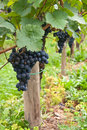 Grapevine bunches of blue grapes at a vineyard in the mosel valley in germany Stock Image