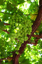 Grapevine bunches of grapes on vines Royalty Free Stock Photo